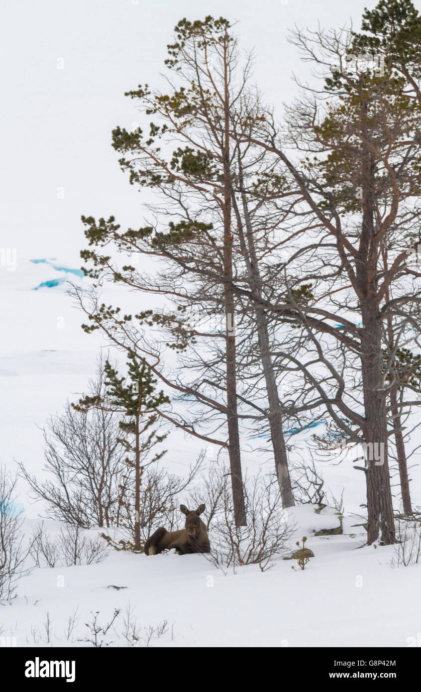 Moose lying down under a pine tree in winter landscape looking towards the camera, Stora sjöfallets national - Stock Image