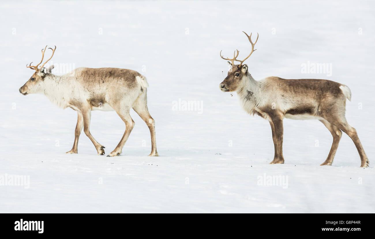 Two Reindeers walking in snow, Gällivare, Swedish Lapland, Sweden - Stock Image