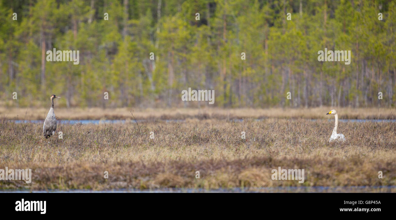 Whooper swan and Common crane facing each other, standing on a moss in a forest, Gällivare, Swedish Lapland, Sweden Stock Photo