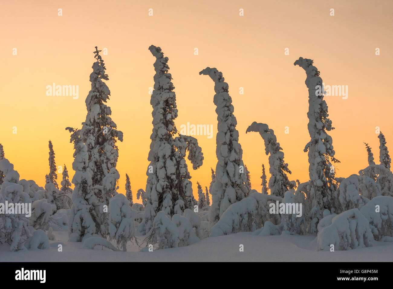 Winter landscape in sunset with spruce trees with plenty of snow covering them and making them bend, Gällivare, - Stock Image