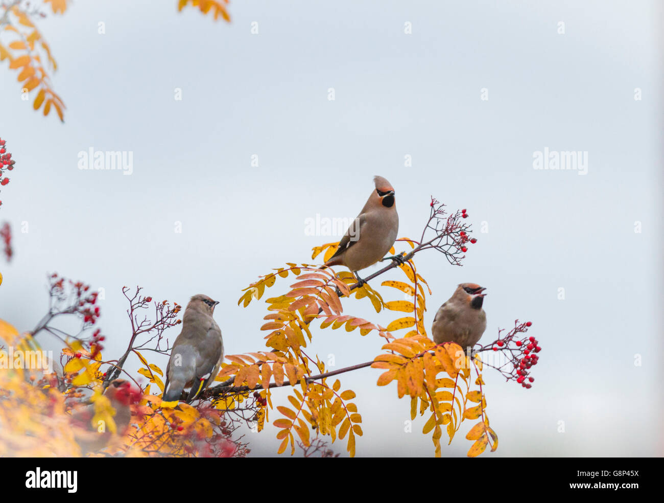 Three Waxwings sitting in a Rowan tree with berries on it and leaves are in autumn color yellow, Gällivare, - Stock Image