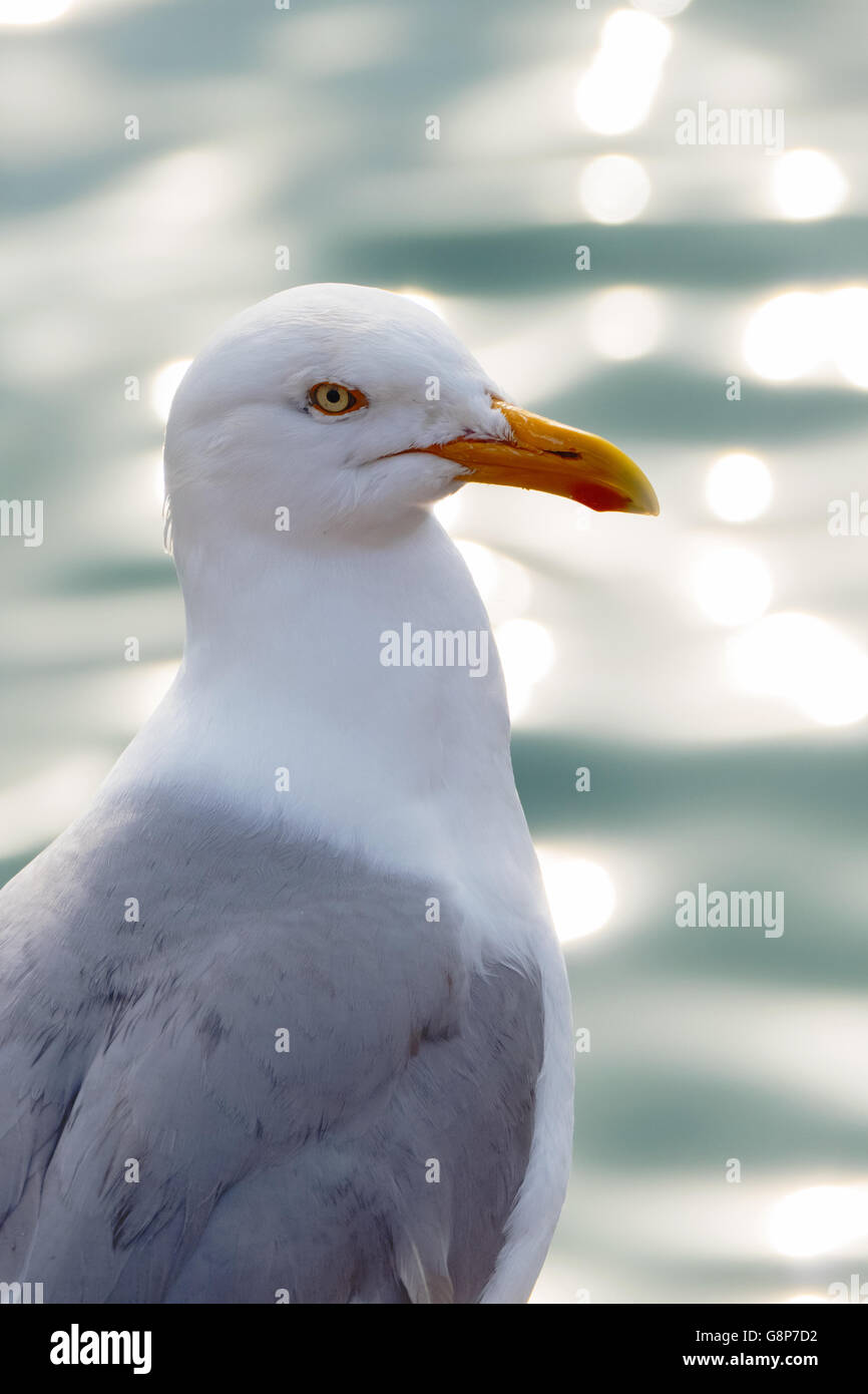Seagull bird looking out over a glistening sea in St. Ives, Cornwall England. - Stock Image