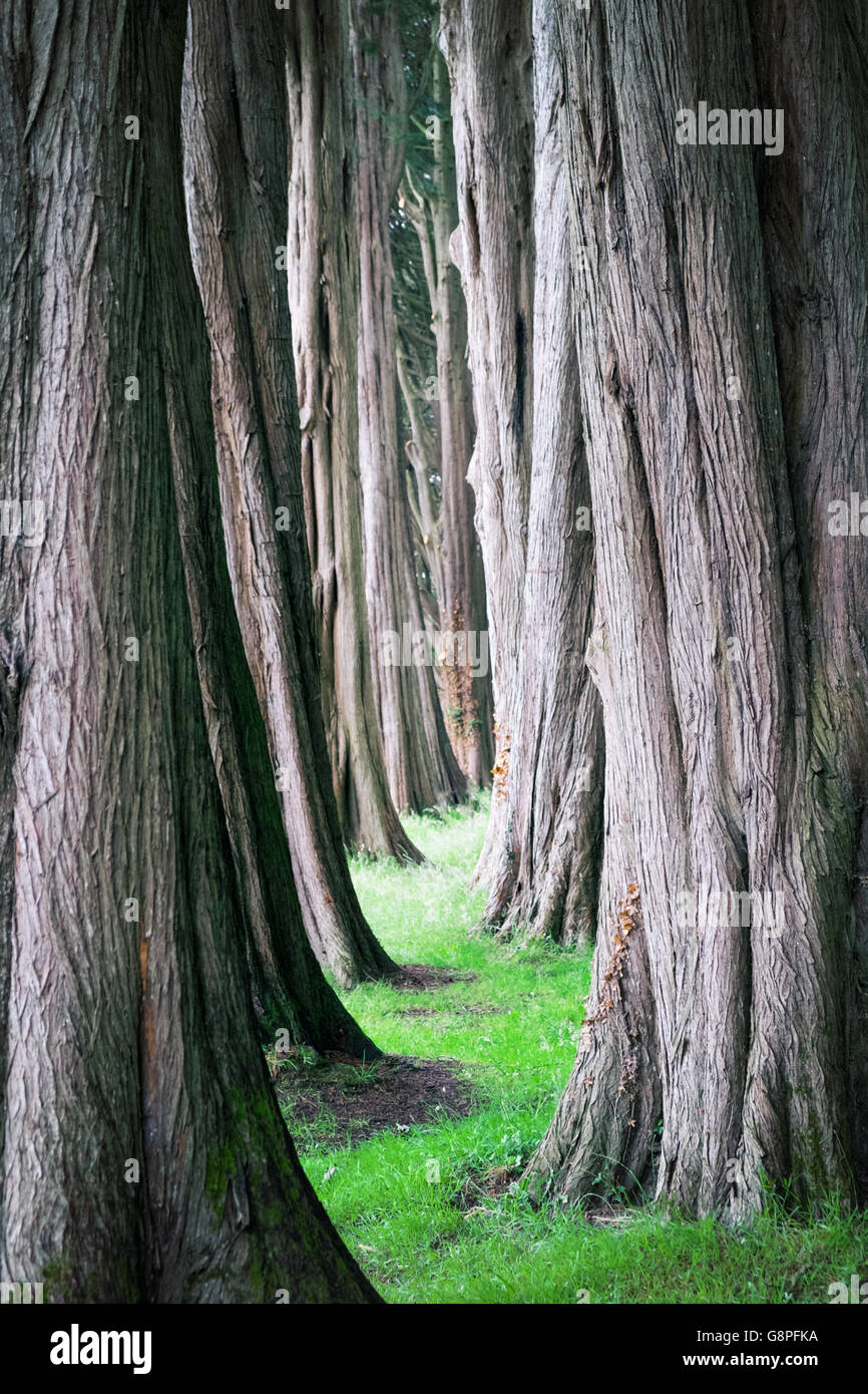 Mystical forest, pathway between tall trees - Stock Image