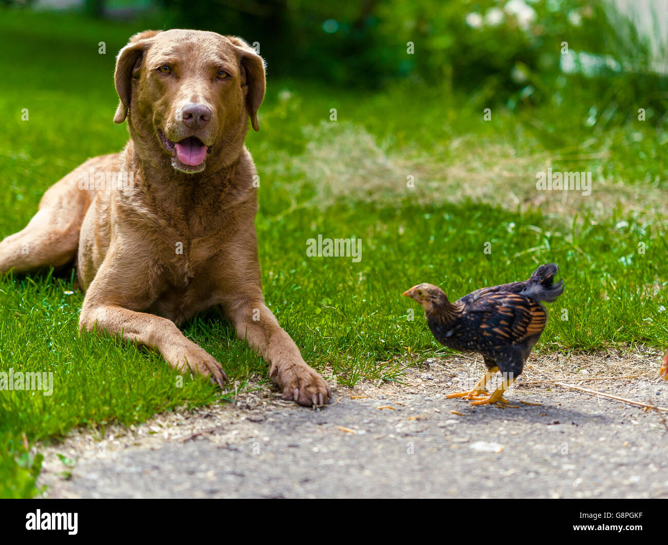 Gundog with Wyandotte Chick - Stock Image