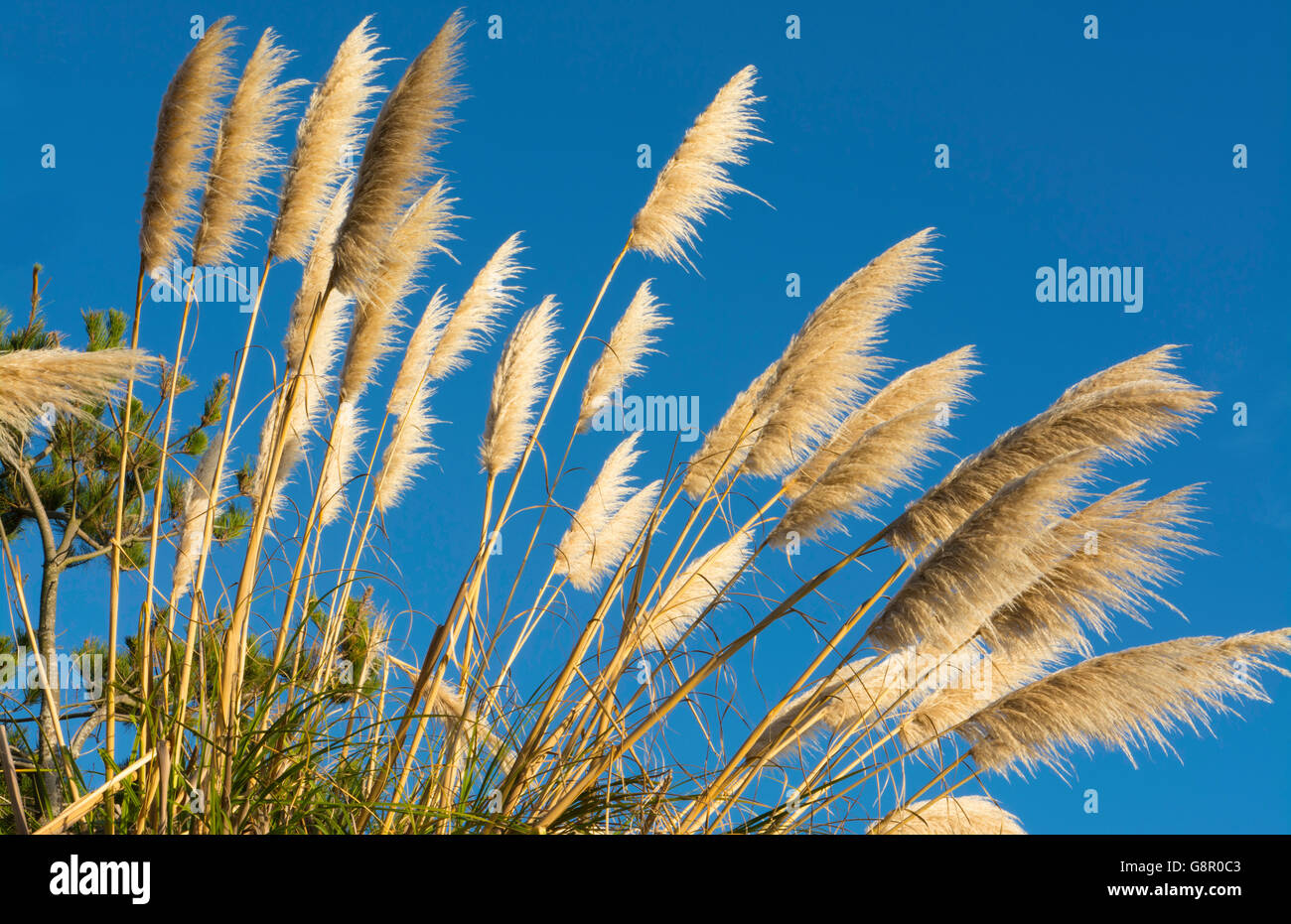 Pacific Coast Highway #1 California tan Pampas Grass near highway into the blue sky graphic plants - Stock Image