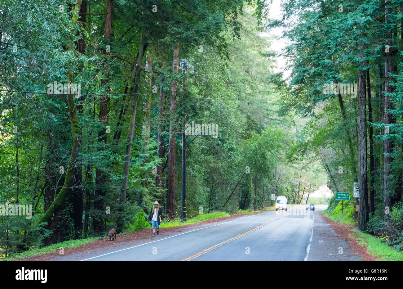 Guerneville Calfornia redwoods on road near Northwood in Russian River Valley Sonoma County CA - Stock Image