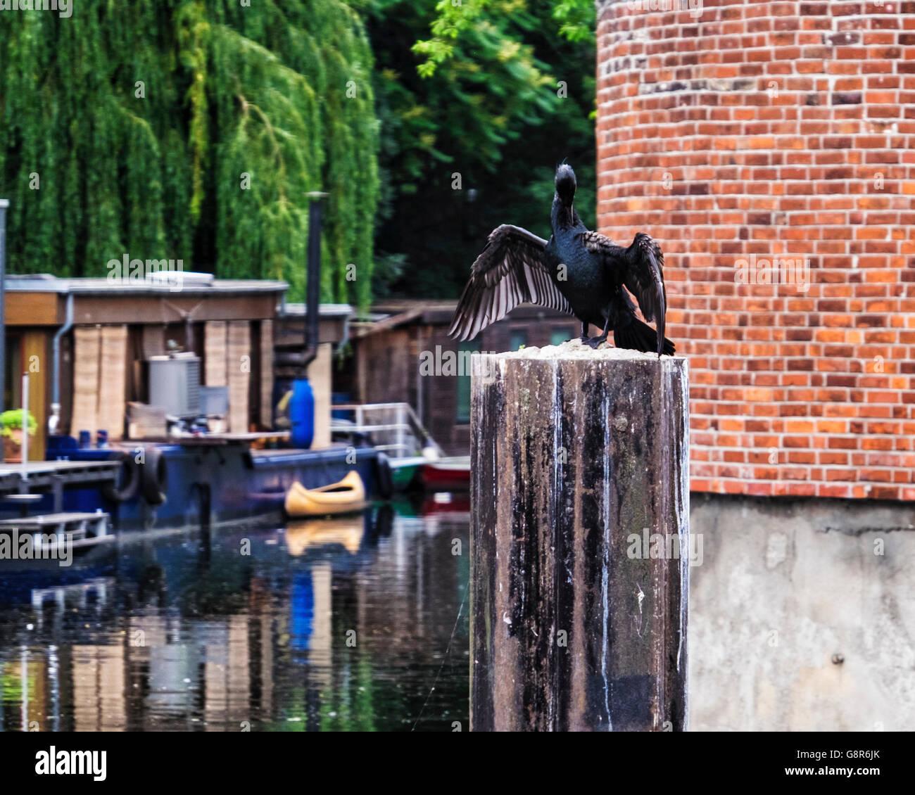 Cormorant, Phalacrocorax spreads its wings next to the Landwehr kanal, Berlin - Stock Image