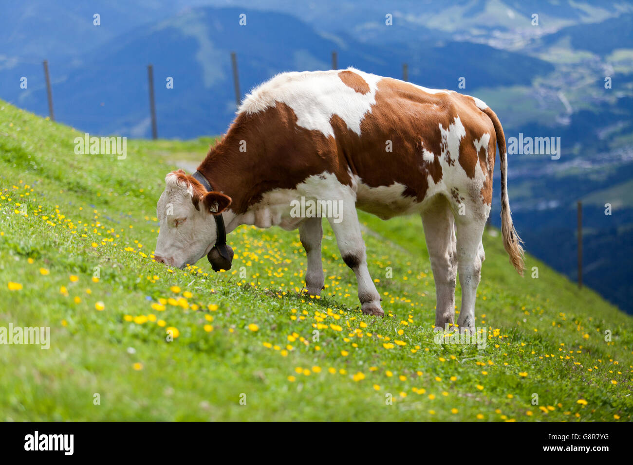 Brown and white cow in alpine pasture on Kitzbüheler Horn, near Kitzbühel, in the Austrian Tyrol. The cattle bell Stock Photo