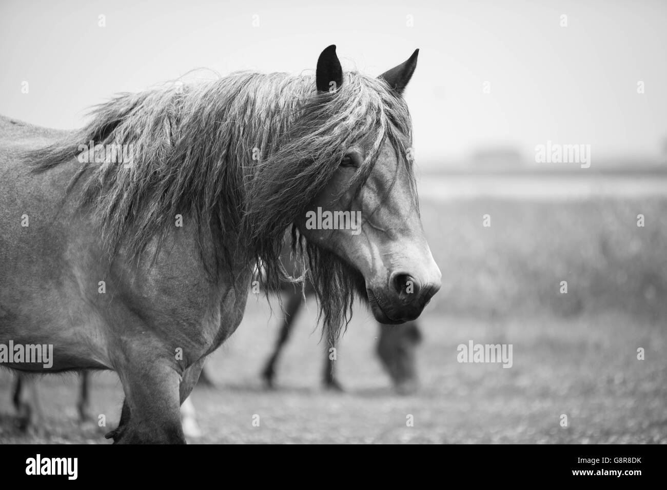 Black And White Photo Of European Wild Horses In The Open Field Stock Photo Alamy