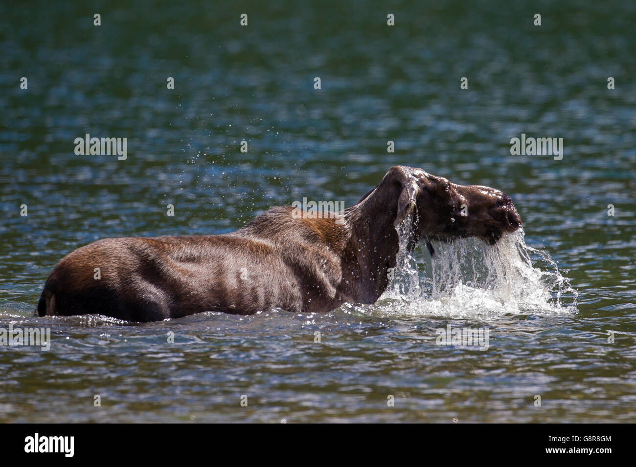 Moose (Alces alces) cow surfacing after feeding on underwater vegetation in lake - Stock Image