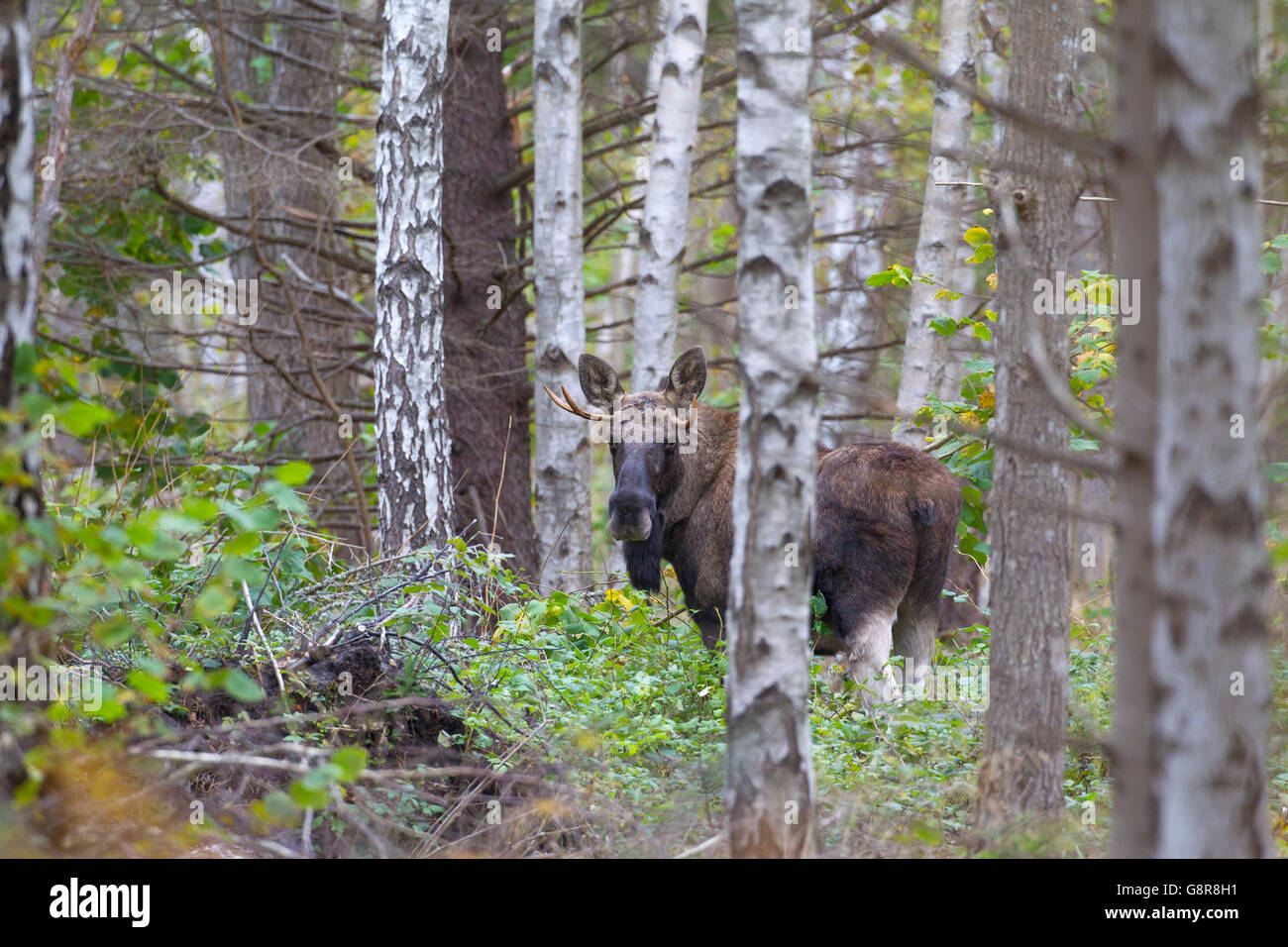 Young moose bull (Alces alces) in birch forest in autumn, Scandinavia Stock Photo