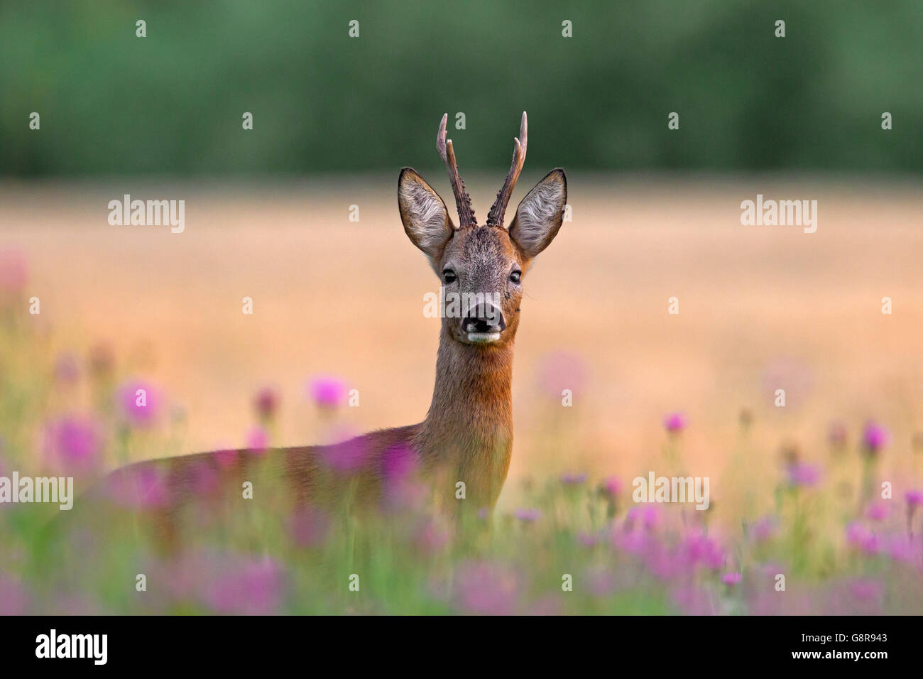 European roe deer (Capreolus capreolus) buck among wildflowers in farmland in summer - Stock Image