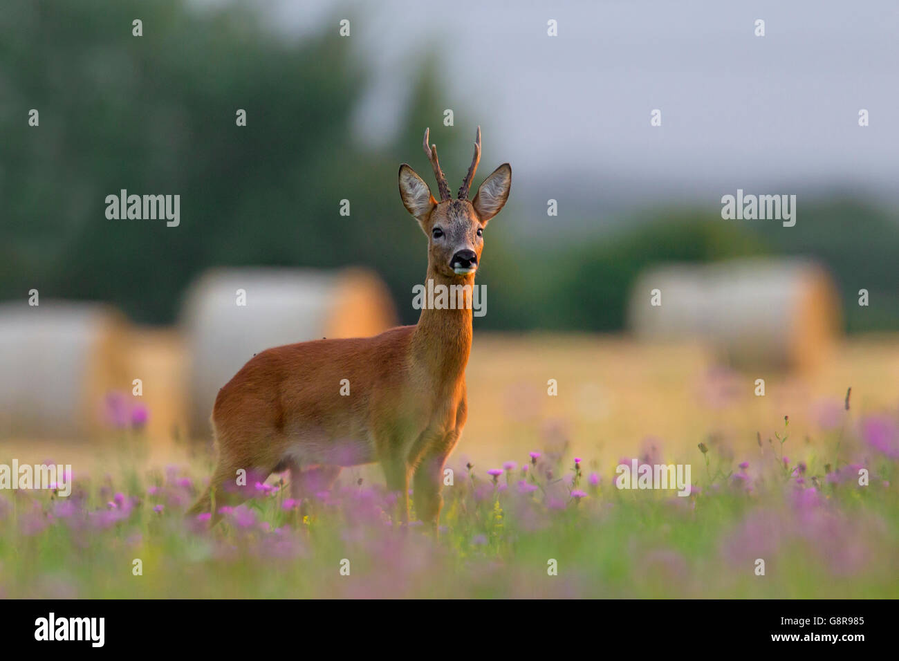 European roe deer (Capreolus capreolus) buck foraging on farmland in summer - Stock Image