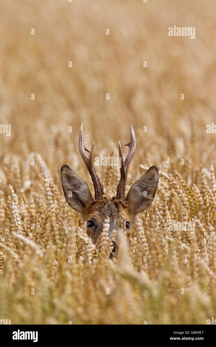 European roe deer (Capreolus capreolus) buck foraging in wheat field in summer - Stock Image
