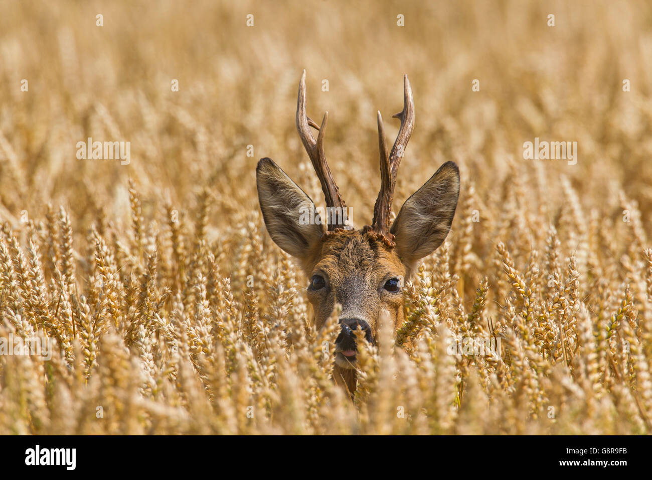 European roe deer (Capreolus capreolus) buck foraging in wheat field in summer - Stock Image