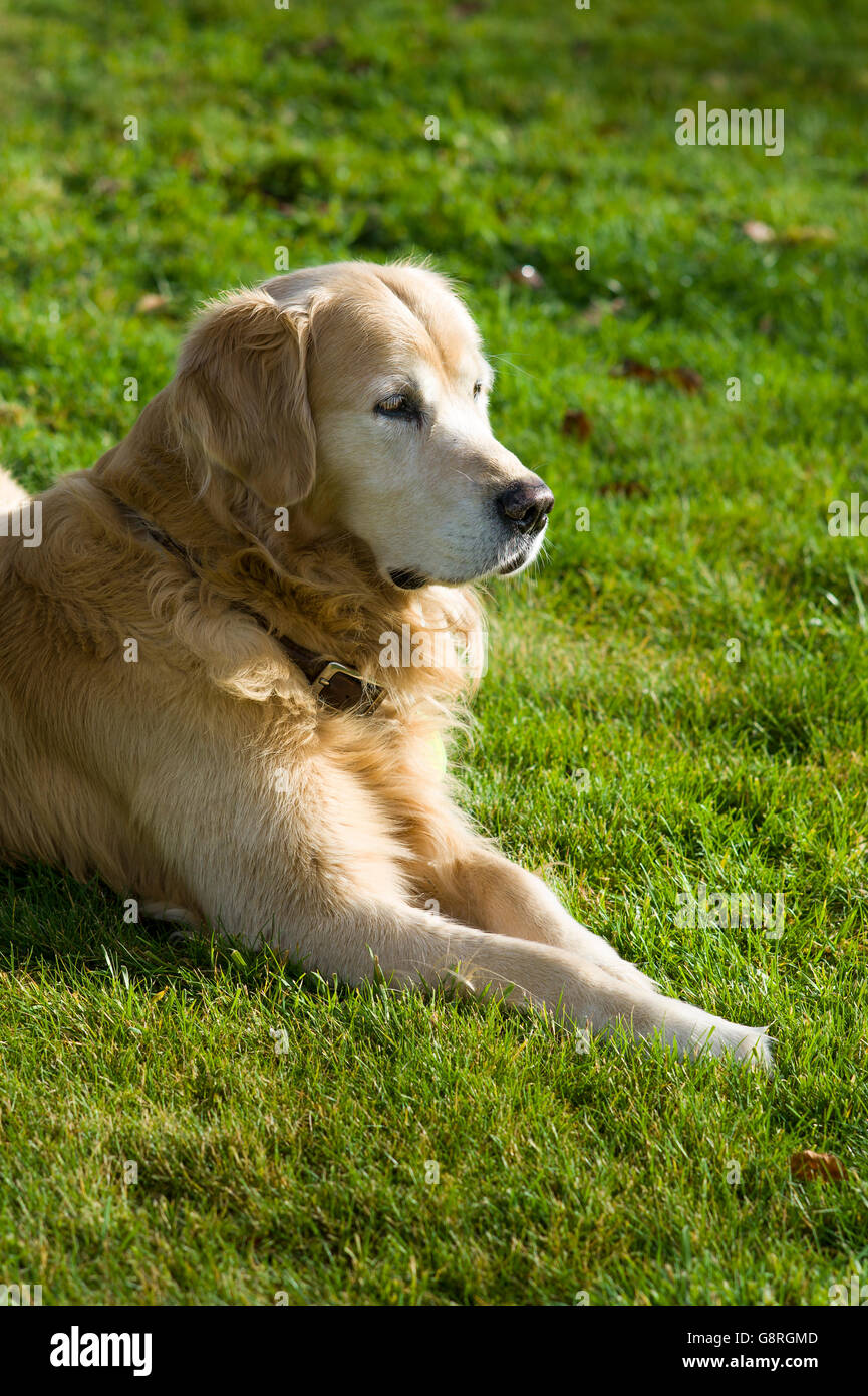 Golden retriever dog resting on a grass lawn - Stock Image