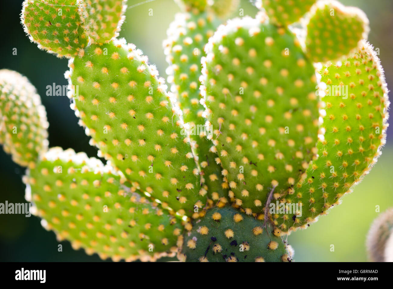 macro detail of Quills prickly cactus spines - Stock Image