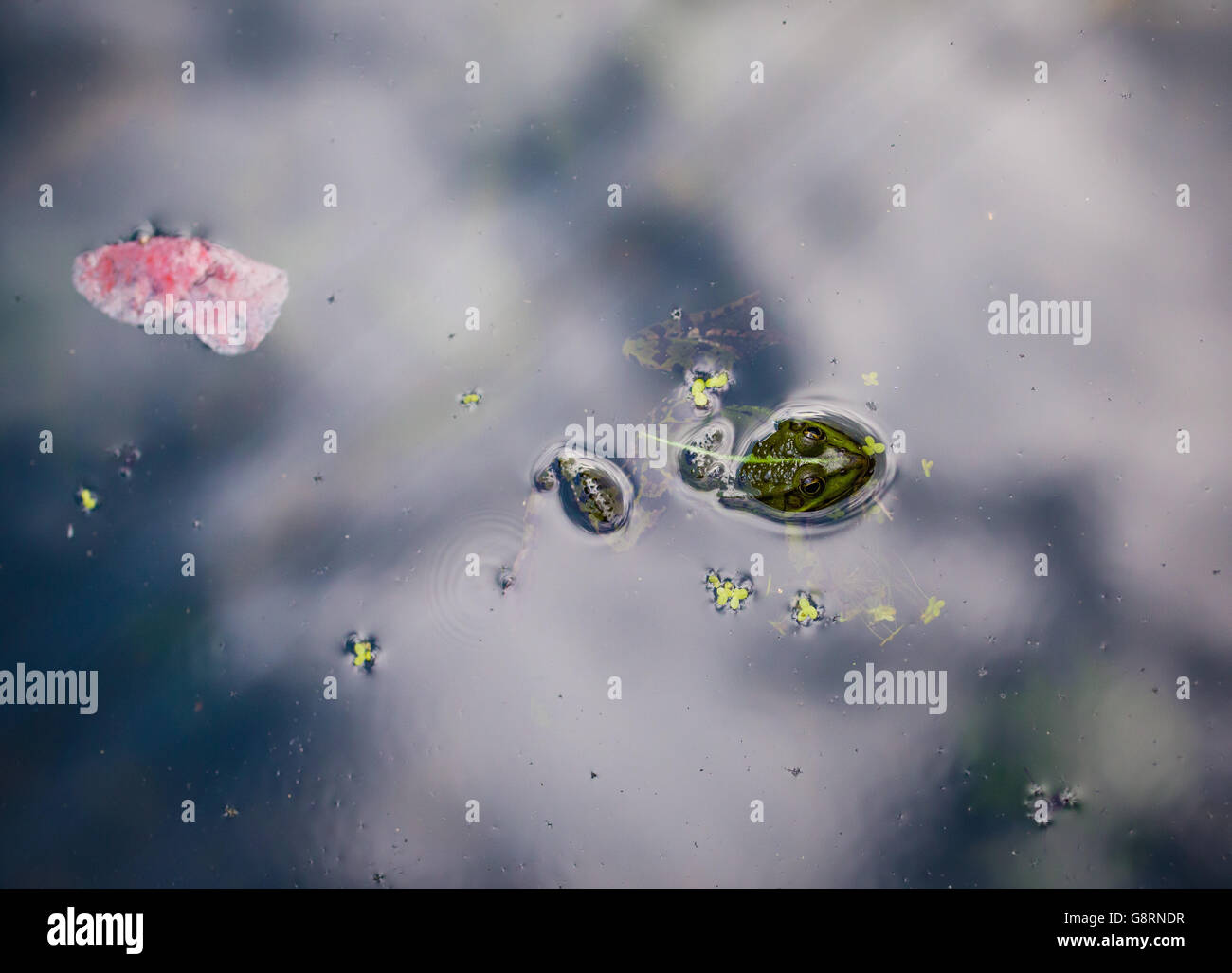 Perezi frog in the water - Stock Image