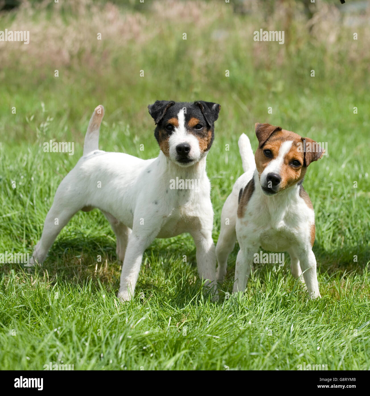 two jack russell terriers - Stock Image