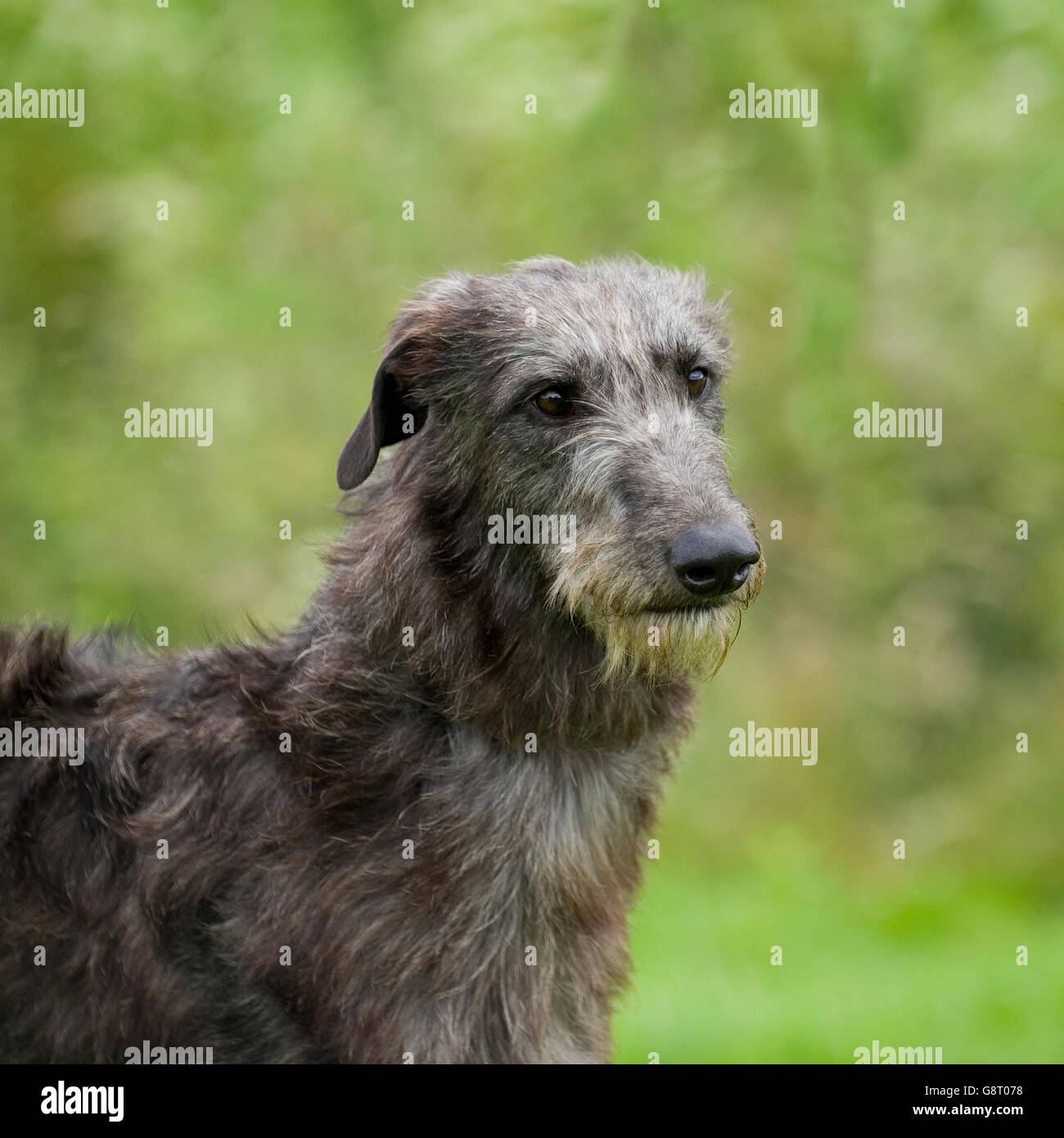 Deerhound Stock Photo