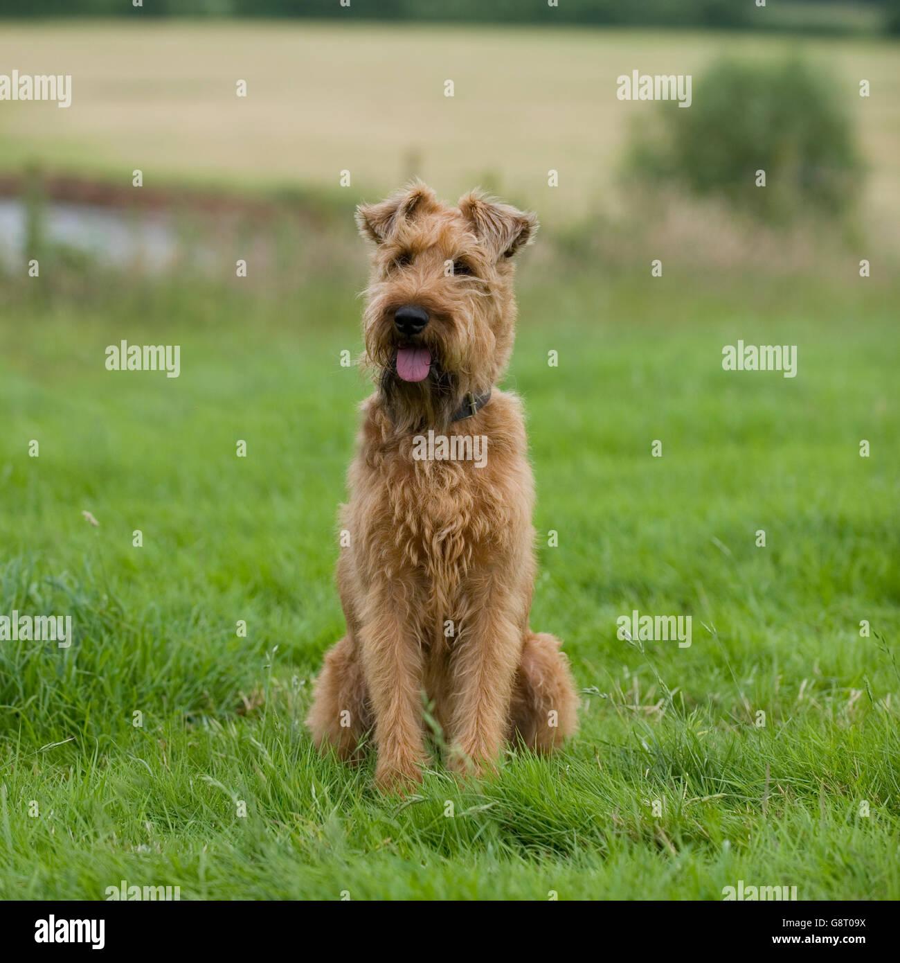 Irish terrier - Stock Image