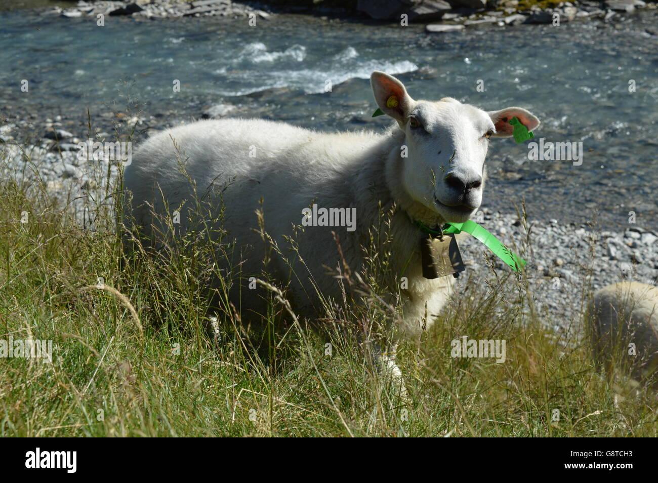 Lamb Norway Trollstigen - Stock Image