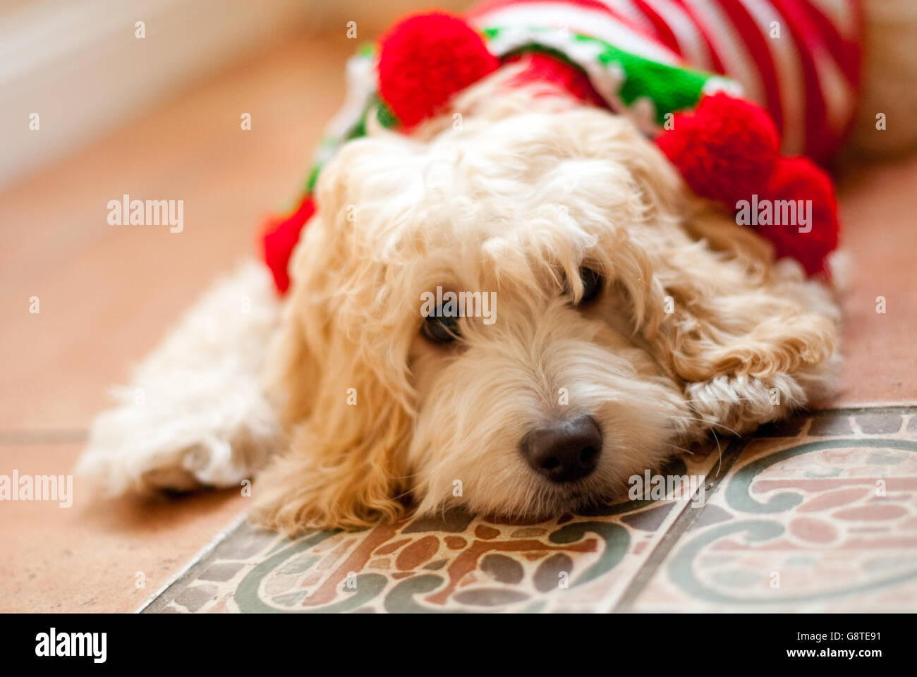 Dog portrait - Cockapoo with Christmas outfit - Stock Image