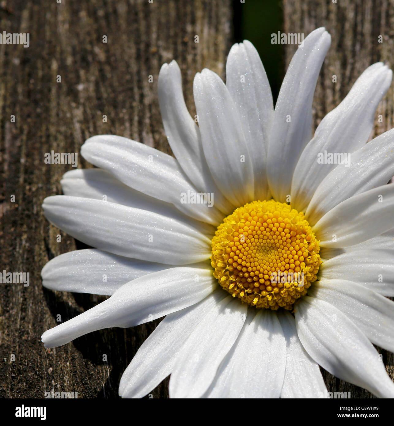 Large White Daisy Flowers Stock Photos Large White Daisy Flowers