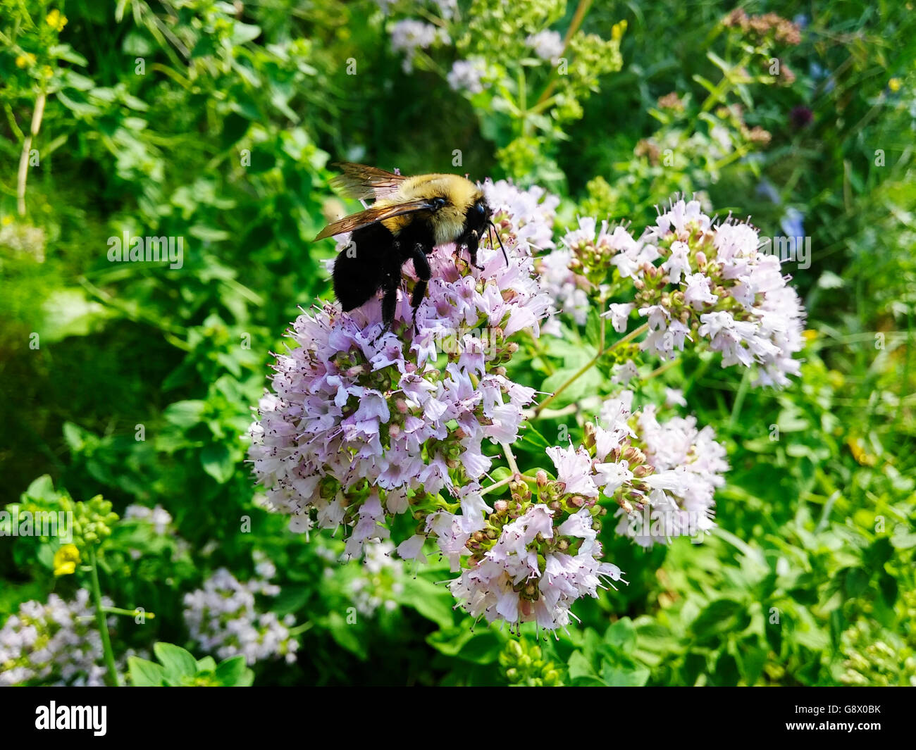 A bee pollinates an oregano plant which has been left to flower in a community garden in New York on Friday, June - Stock Image