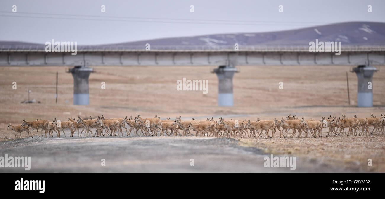 (160630) -- BEIJING, June 30, 2016 (Xinhua) -- File photo taken on June 7, 2016 shows Tibetan antelopes moving near - Stock Image