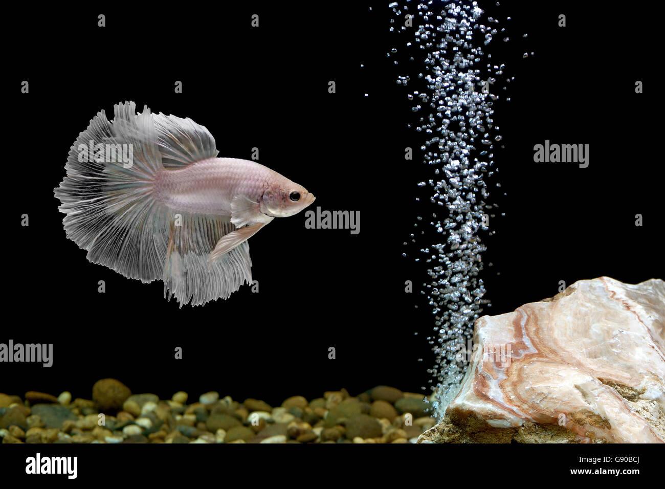 betta fish, siamese fighting fish in fishbowl - Stock Image