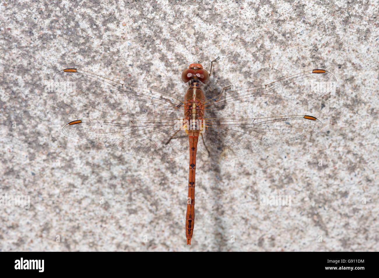 Eastern hawk dragonfly (Austrocordulia refracta) resting on concrete - Stock Image