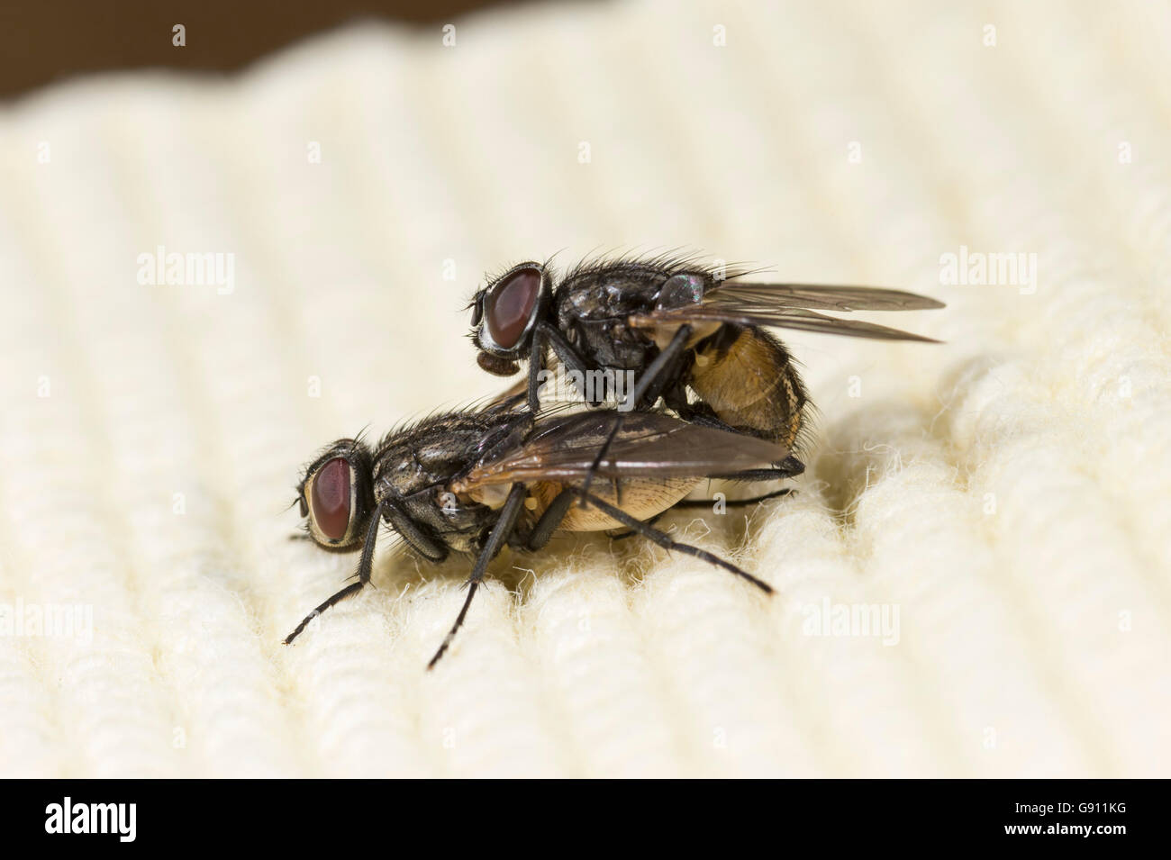 Mating pair of house flies (Musca domestica) - Stock Image