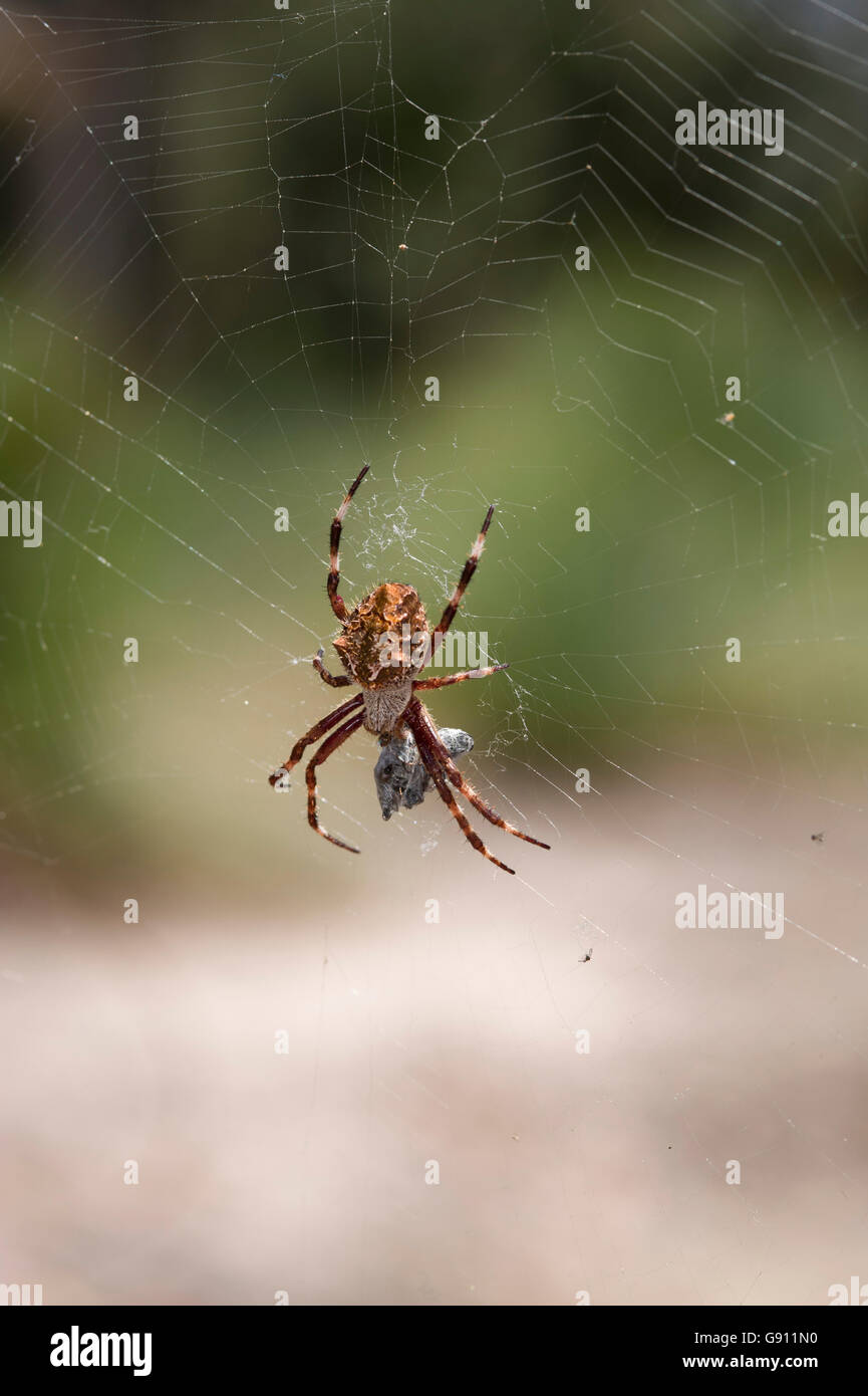 Orb-weaving spider and prey - Stock Image