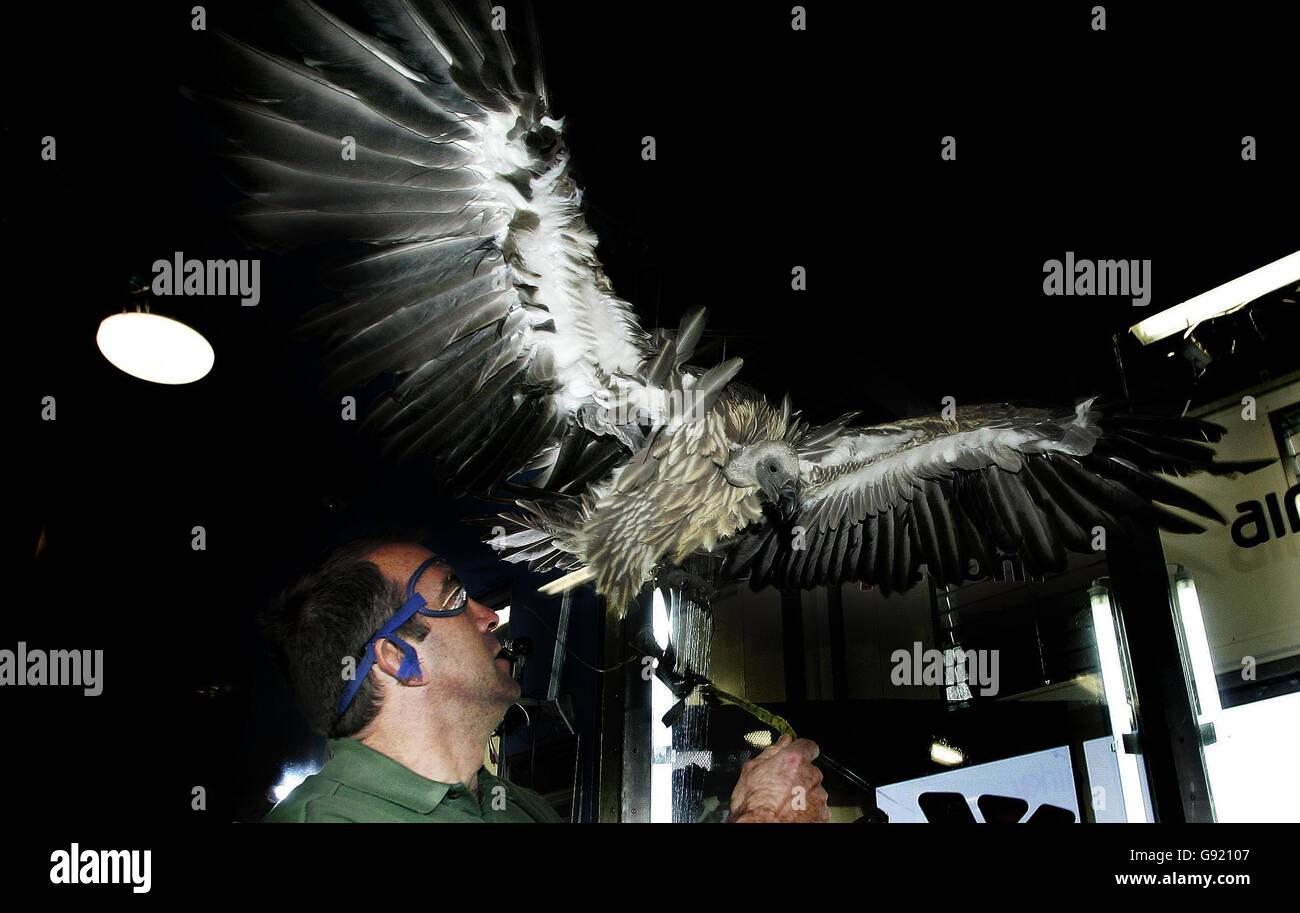 ANIMALS Vulture - Stock Image