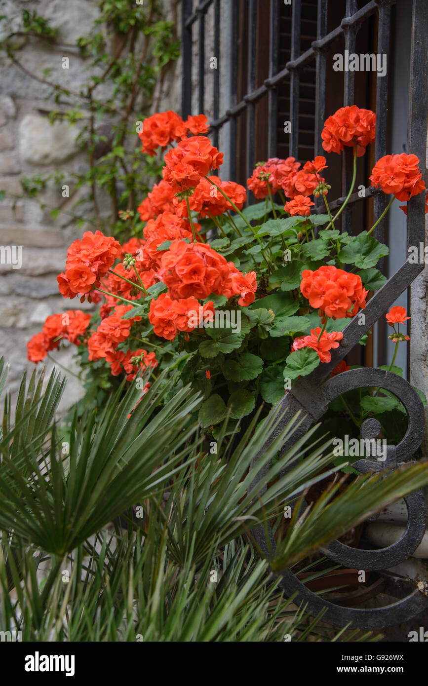 Red geraniums in window box in italy - Stock Image