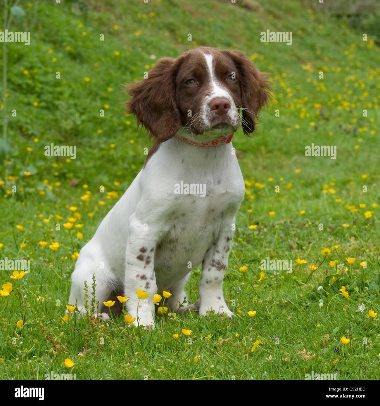 english springer spaniel puppy - Stock Image