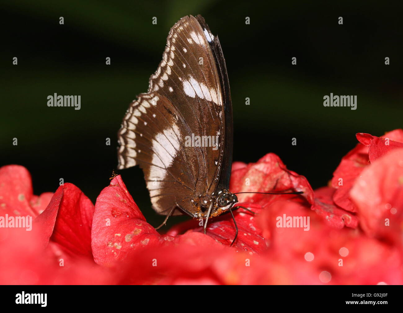 Common brown butterfly sucking on nectar from hibiscus flowers. - Stock Image
