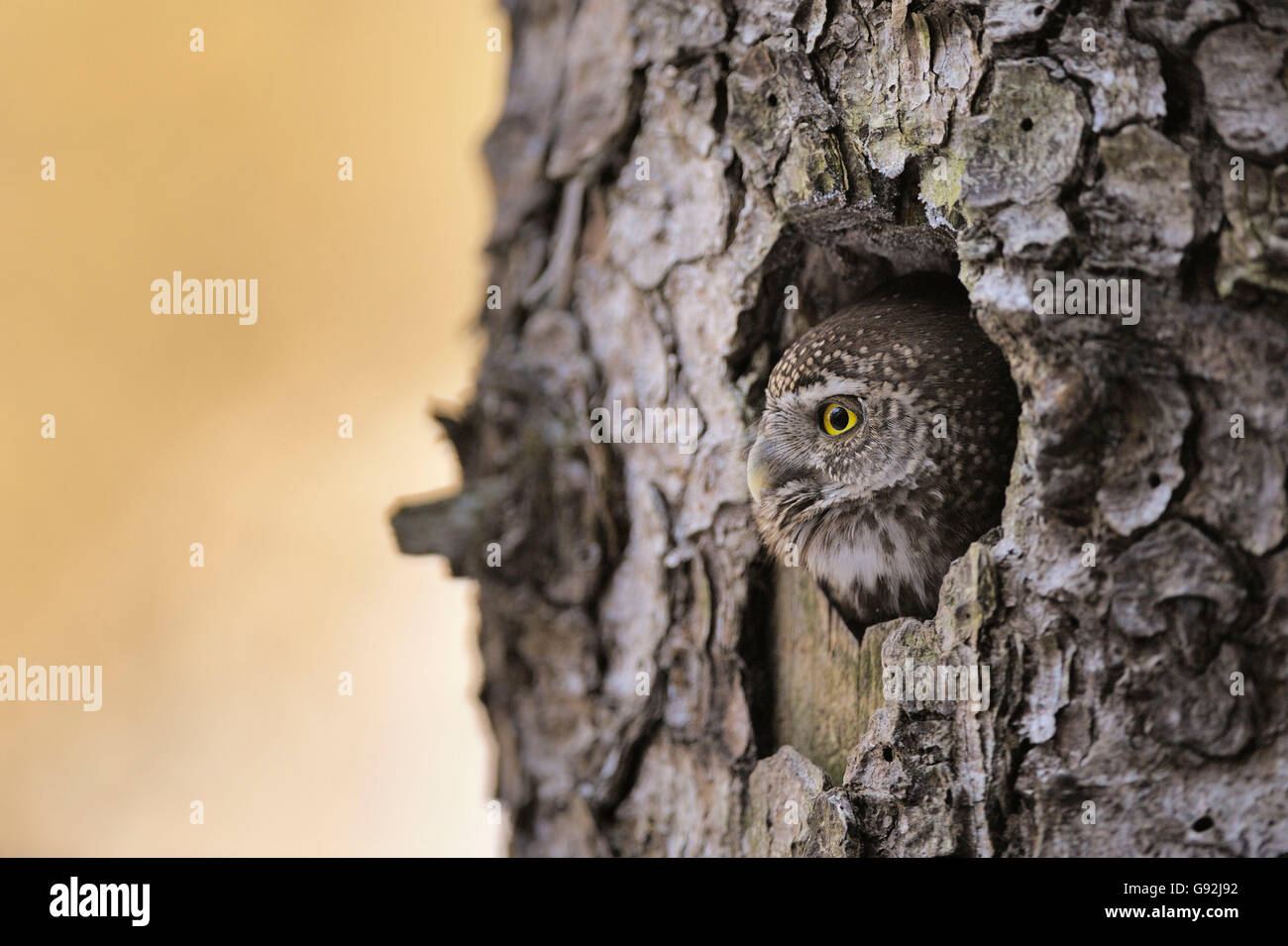 Pygmy Owl looking out of nesting hole / (Glaucidium passerinum) - Stock Image