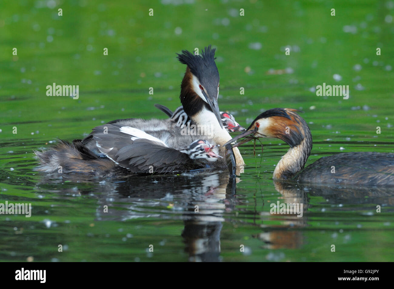 Great Crested Grebes, pair with chicks, Lower Rhine, North Rhine-Westphalia, Germany / (Podiceps cristatus) - Stock Image