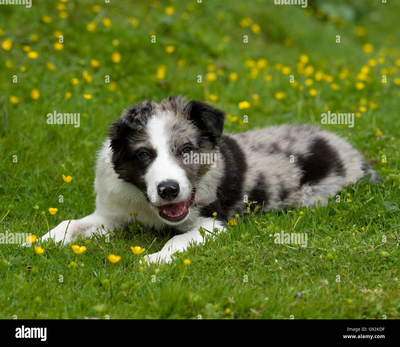 blue merle border collie puppy - Stock Image