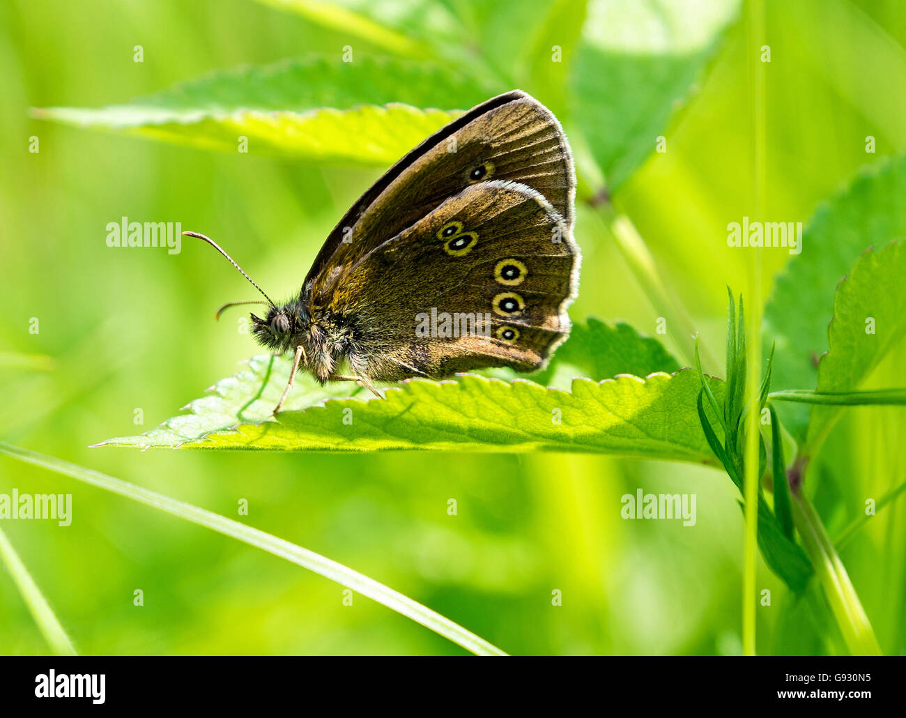 Side view of a Ringlet (Aphantopus hyperantus) butterfly resting with it's wings up - Stock Image