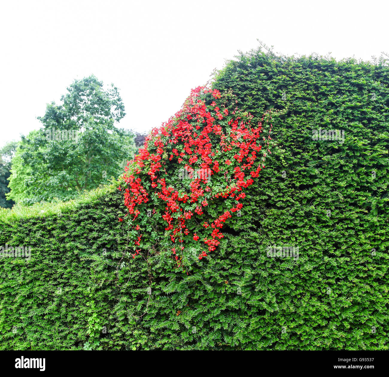 The red flowers of a Flame Creeper (Tropaeolum speciosum) growing up through a conifer hedge - Stock Image