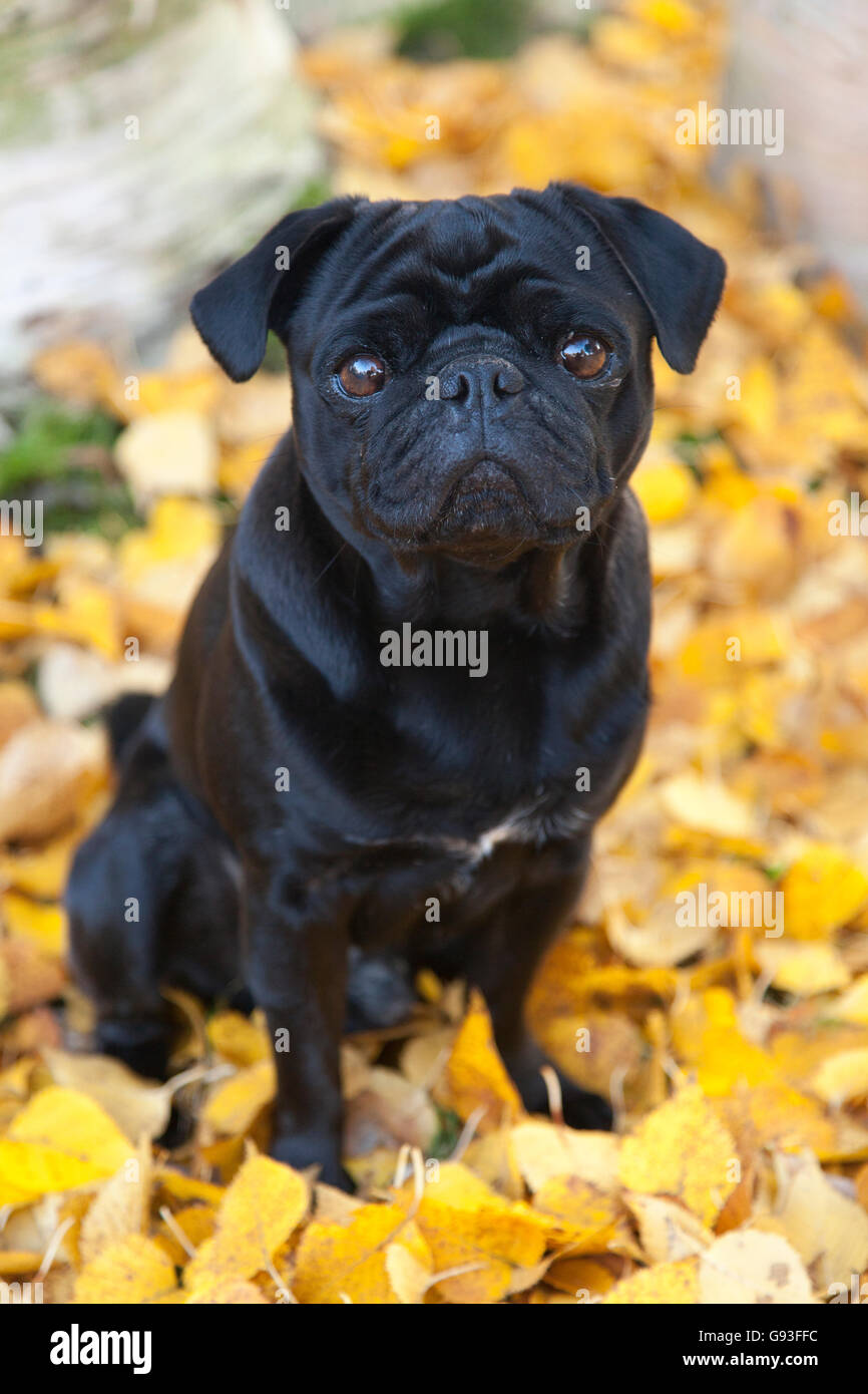 Black Pug sitting in yellow autumn leaves, Germany Stock Photo