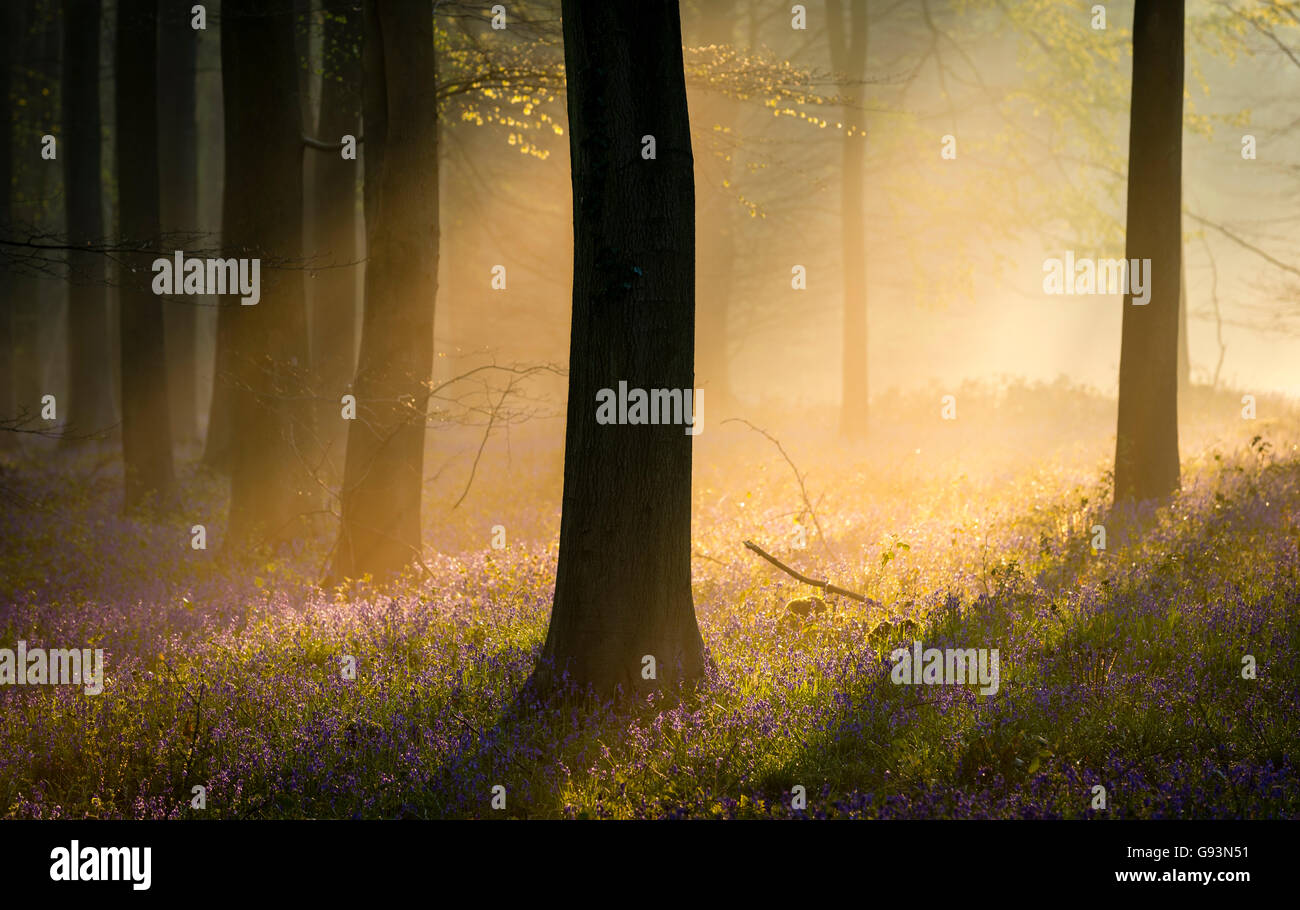 Dawn light shines through the mist in an English bluebell woodland. - Stock Image