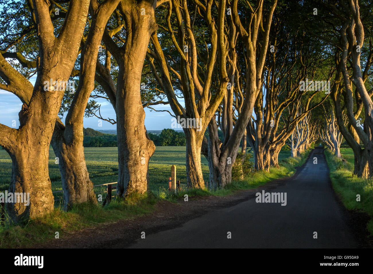 The 'Dark Hedges' - an avenue of ancient trees in County Antrim in Northern Ireland. - Stock Image