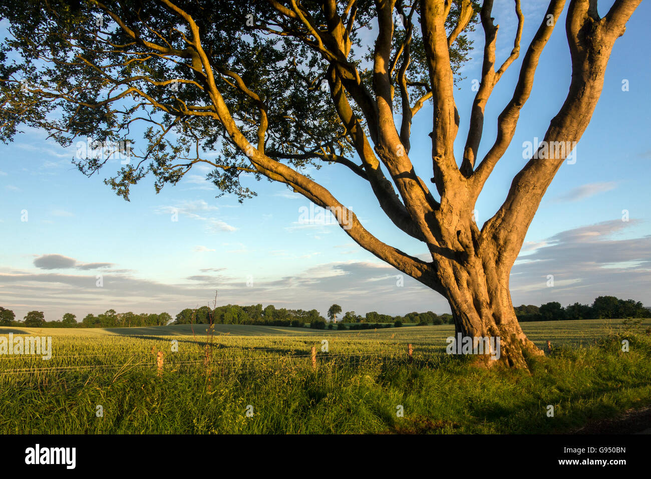 Early morning sunlight on the trees and fields of rural Ireland - County Antrim in Northern Ireland. - Stock Image