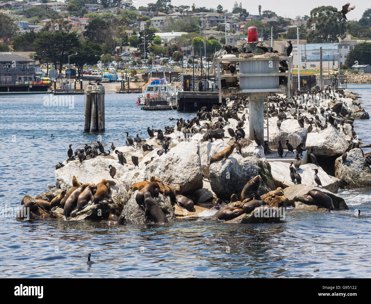 Sea lions and Kormorans in Monterey harbor, California USA - Stock Image