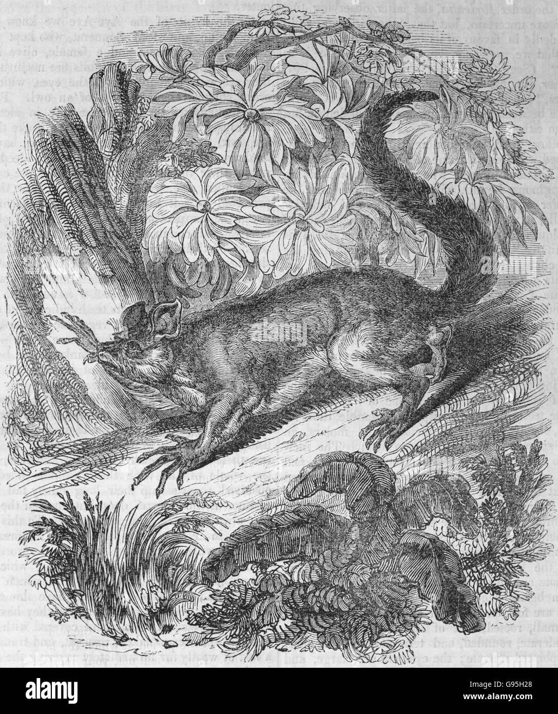 The Aye-Aye. From a mid 19th century engraving. The aye-aye (Daubentonia madagascariensis) is a lemur, a strepsirrhine - Stock Image