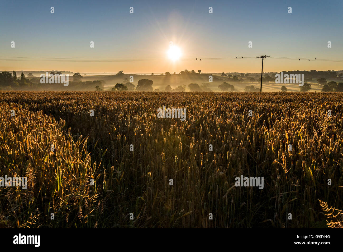 Wheat ripening in a Somerset field in England, UK. As the sun rises. - Stock Image